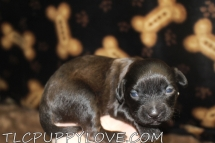 Razor Male CKC Shihpoo $1750 Ready 10/1 AVAILABLE