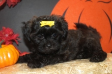 Reba Female CKC Shihpoo $1750 Ready 10/1 AVAILABLE