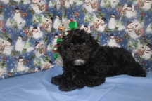 Yoda Male CKC Shihpoo $1750 BUT WAIT FALL SPECIAL NOW $1250 Ready 10/17 WITH ALL HIS SHOTS AVAILABLE