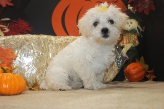 Rose Female Morkie $1750 Ready 9/21 BUT WAIT FALL SPECIAL $999 SOLD NEW HOME JAX, FL