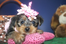 Jersey Female CKC Morkie $1750 Ready 9/26 HAS DEPOSIT NEW HOME ATLANTA, GA