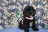 Obi-Wan Male CKC Shihpoo $1750 BUT WAIT FALL SPECIAL NOW $1250 Ready 10/17 WITH ALL HIS SHOTS AVAILABLE
