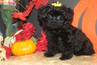 Phoebe Female CKC Shorkipoo $1750 Ready 9/23 AVAILABLE
