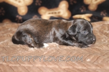 Reggie Male CKC Shihpoo $1750 Ready 10/1 AVAILABLE