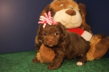 YoYo Female CKC Yorkipoo $1750 Ready 9/27 AVAILABLE
