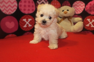 BoBo Male CKC Malshipoo $1750 Ready 10/11 SOLD MY NEW HOME NJ