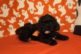 Chewbacca Male CKC Shihpoo $1750 BUT WAIT FALL SPECIAL NOW $1250 Ready 10/17 AVAILABLE
