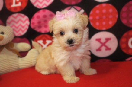 GiGi Female CKC Malshipoo $1750 Ready 10/11 SOLD MY NEW HOME JACKSONVILLE, FL