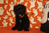 Obi-Wan Male CKC Shihpoo $1750 BUT WAIT FALL SPECIAL NOW $1250 Ready 10/17 AVAILABLE