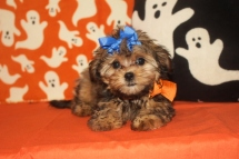 Rapunzel Female CKC Shorkipoo $1750 Ready 9/23 SOLD MY NEW HOME AUGUSTA, GA