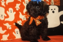Reba Female CKC Shihpoo $1750 BUT WAIT FALL SPECIAL NOW $1500 Ready 10/1 AVAILABLE