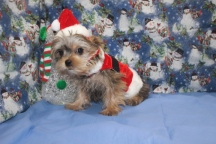 Sulu Male CKC Shorkie $2500 BUT WAIT SPECIAL $1750 Ready 10/7 SOLD MY NEW HOME IS NY