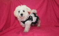 Celia Female CKC Morkie $1750 SOLD MY NEW HOME JAX, FL