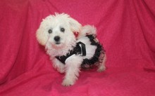 Celia Female CKC Morkie $1750 BUT WAIT FALL SPECIAL NOW $1250 AVAILABLE