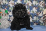 Luke Skywalker Male CKC Shihpoo $1750 BUT WAIT FALL SPECIAL NOW $1250 Ready 10/17 WITH ALL HIS SHOTS AVAILABLE