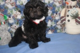 Razor Male CKC Shihpoo $1750 BUT WAIT FALL SPECIAL NOW $999 Ready NOW WITH ALL HIS SHOTS $999 SOLD MY NEW HOME JACKSONVILLE, FL