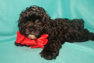 Yoda Male CKC Shihpoo $1750 BUT WAIT FALL SPECIAL NOW $1250 Ready 10/17 AVAILABLE