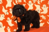 Luke Skywalker Male CKC Shihpoo $1750 BUT WAIT FALL SPECIAL NOW $1250 Ready 10/17 AVAILABLE