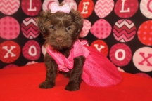 Mindy Female CKC Morkipoo $1750 Ready 9/28 SOLD MY NEW HOME PACIFIC PALISADES, CA