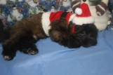 Remington Male CKC Shihpoo $1750 BUT WAIT FALL SPECIAL NOW $999 Ready NOW SOLD MY NEW HOME JACKSONVILLE, FL