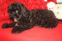 Obi-Wan Male CKC Shihpoo $1750 BUT WAIT AFTER CHRISTMAS SPECIAL NOW $750 Ready 10/17 WITH ALL HIS SHOTS SOLD MY NEW HOME JAX, FL