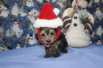 Bailey Female CKC Morkie $1750 Ready 12/12/16 SOLD MY NEW HOME MIAMI, FL