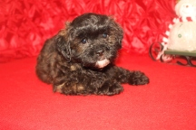 Banjo Male CKC Malshipoo $1750 BUT CHRISTMAS SPECIAL $1250 Ready 11/25 SOLD MY NEW HOME MA