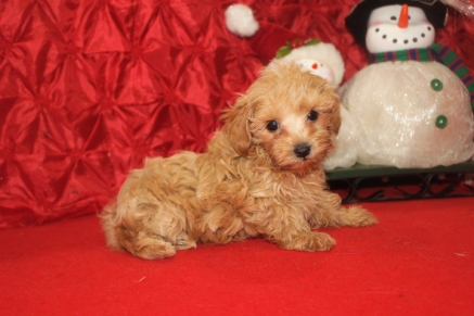 Buddy Male CKC Morkie $1750 Ready 12/12/16 HAS DEPOSIT HAS DEPOSIT MY NEW HOME MIAMI, FL