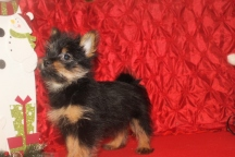 Pippy Female Yorkipoo $1750 BUT WAIT AFTER CHRISTMAS SPECIAL $750 Ready 11/24 AVAILABLE