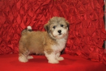 Puddin Male CKC Havanese $1800 Ready Now SOLD MY NEW HOME CHALFONT, PA