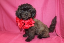 Reba Female CKC Shihpoo $1750 BUT WAIT CHRISTMAS SALE NOW $1500 WITH ALL HER SHOTSReady 10/1 AVAILABLE