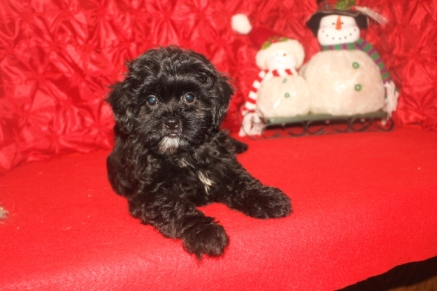 Sadie Female CKC Malshipoo $1750 BUT WAIT CHRISTMAS SPECIAL $1250 Ready 11/25 SOLD MY NEW HOME JACKSONVILLE, FL