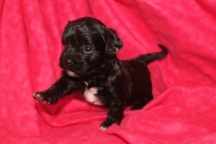 Wiggles Female CKC Havapoo $1750 Ready 12/5 AVAILABLE 3W2D 1Lb