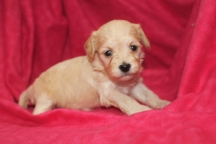 Willow Female CKC Havapoo $1750 Ready 12/5 HAS DEPOSIT MY NEW HOME PALM BAY, FL 3W2D 1 LB 2.7oz
