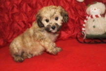 Windy Female CKC Havapoo $1750 Ready 12/5 SOLD MY NEW HOME ORMOND BEACH, FL 8W2D 2.5lbs