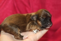 Windy Female CKC Havapoo $1750 Ready 12/5 HAS DEPOSIT MY NEW HOME ORMOND BEACH, FL 3 days 7.7oz