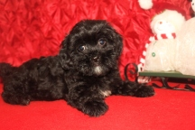 Suzie Female CKC Malshipoo $1750 BUT WAIT CHRISTMAS SPECIAL $999 Ready 11/25 SOLD MY NEW HOME POINCIANA, FL