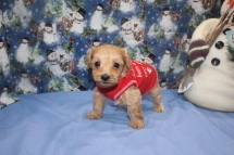 Buddy Male CKC Morkie $1750 Ready 12/12/16 SOLD HAS DEPOSIT MY NEW HOME MIAMI, FL