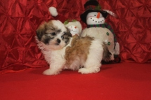 Dino Male CKC Shihpoo $1750 Ready 12/15 SOLD MY NEW HOME PALM BEACH GARDENS, FL