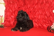 Luke Male CKC Havanese $1800 BUT WAIT AFTER CHRISTMAS SPECIAL $999 Ready 11/4 WITH ALL HIS SHOTS INCLUDING RABIES SOLD MY NEW HOME DESTIN, FL