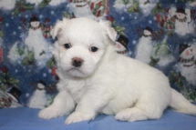 Pooch Male CKC Maltese $1750 Ready 12/12 AVAILABLE