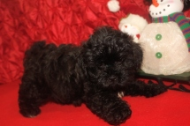 Scooter Male CKC Malshipoo $1750 BUT WAIT CHRISTMAS SPECIAL $999 Ready 11/25 SOLD MY NEW HOME WESTCLIFFE, CO