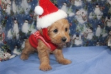 Spice Female CKC Yorkipoo $2000 Ready 12/12 HAS DEPOSIT MY NEW HOME CARNEL, IN