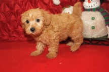 Spice Female CKC Yorkipoo $2000 Ready 12/12 SOLD MY NEW HOME