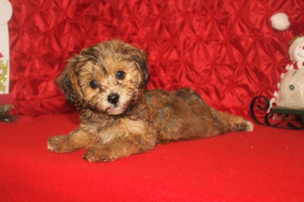 Whoopie Female CKC Havapoo $1750 Ready 12/5 SOLD MY NEW HOME SPRINGFIELD, IL 8W2D 2.11LB