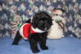 Bandit Male CKC Malshipoo $1750 BUT WAIT SPECIAL $1500 Ready 11/25 HAS DEPOSIT SOLDMY NEW HOME MONTICELLO, FL