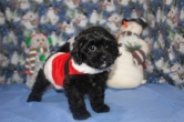 Bandit Male CKC Malshipoo $1750 BUT WAIT SPECIAL $1500 Ready 11/25 HAS DEPOSIT MY NEW HOME MONTICELLO, FL
