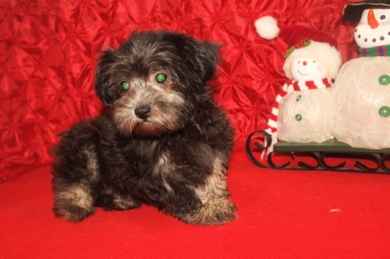 Daisey Female CKC Havanese $1800 BUT WAIT CHRISTMAS SPECIAL NOW $999 Ready 11/4 WITH ALL HIS SHOTS INCLUDING RABIES SOLD MY NEW HOME FLEMING ISLAND, FL