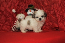Frosty Male CKC Shih Tzu $1750 Ready 12/14 SOLD MY NEW HOME TAMPA, FL