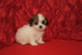 Holly Female CKC Malshi $1750 Ready 12/14 SOLD MY NEW HOME CENTERTON, AR